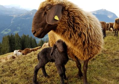 Socialisation inter-espèce et éco–pâture